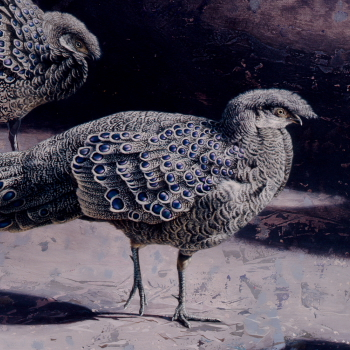 Silver Grey Peacock Pheasants by Andrew Denman
