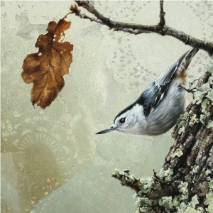 White_Breasted Nuthatch by Andrew Denman