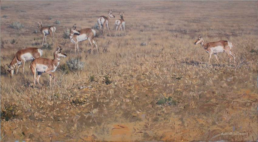 Pronghorn Antelope by Andrew Denman