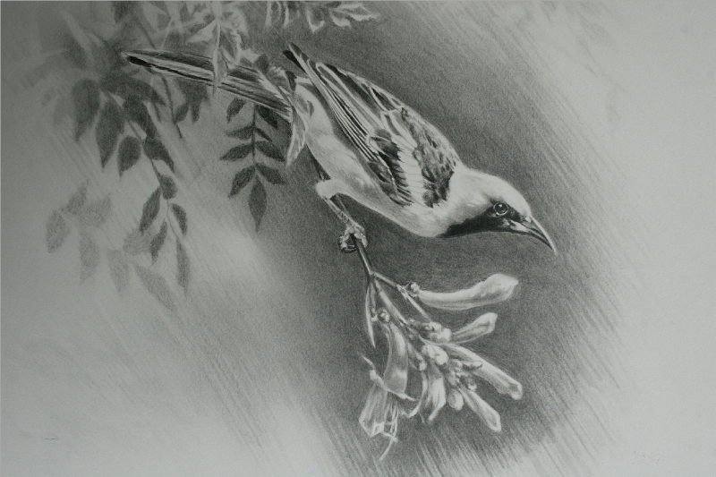 Hooded Oriole Drawing by Andrew Denman