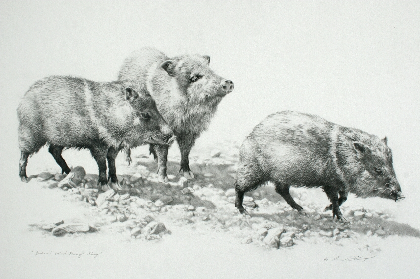 Javelina Study by Andrew Denman