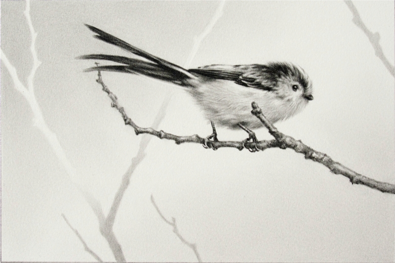 Long-Tailed Tit Drawing by Andrew Denman