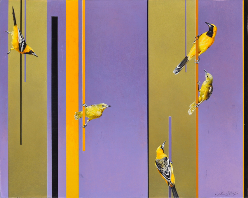 Hooded Orioles by Andrew Denman